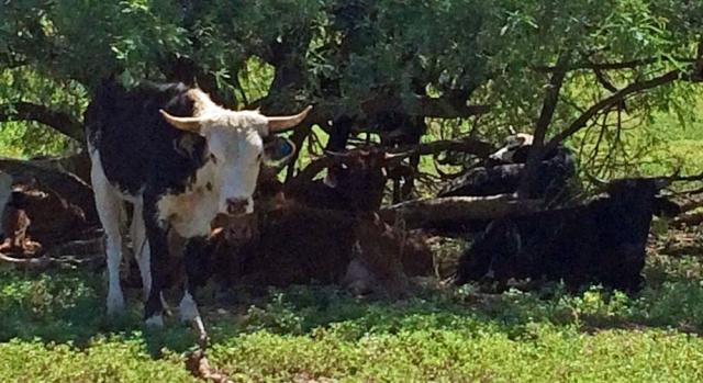 cattle-flex